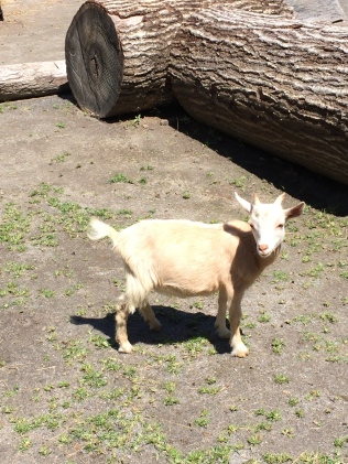 The cutest baby goat